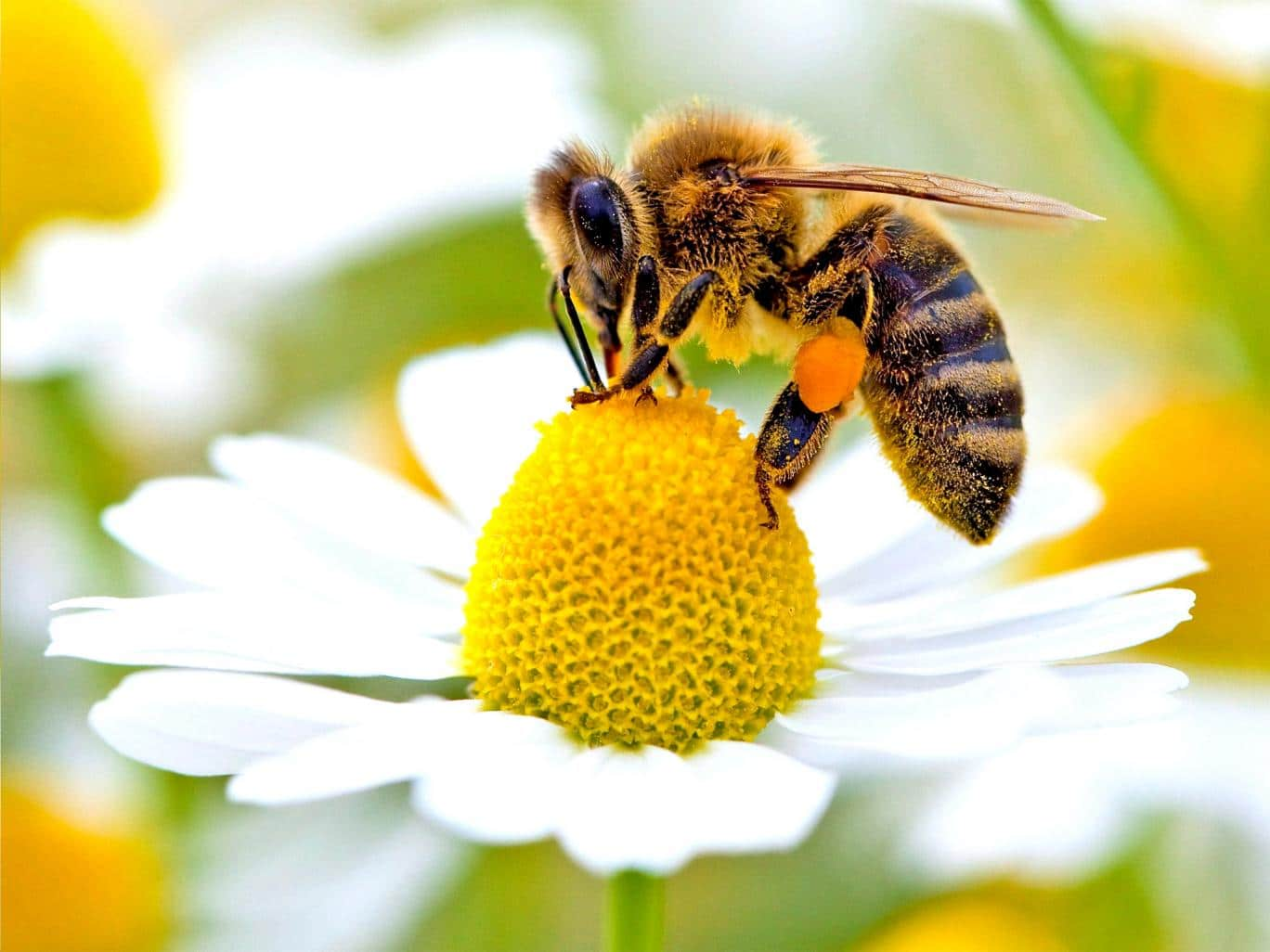 Wild-Bees-Are-In-Low-Numbers-In-Crucial-Areas