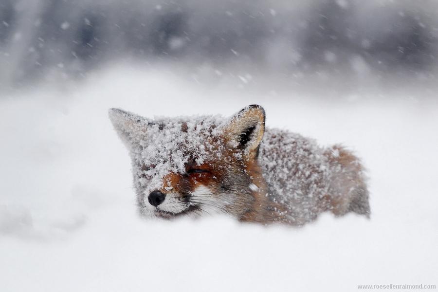 fox_inthe_snow